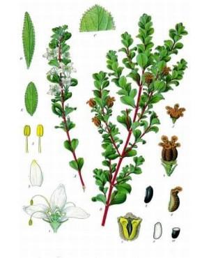 Barosma betulina